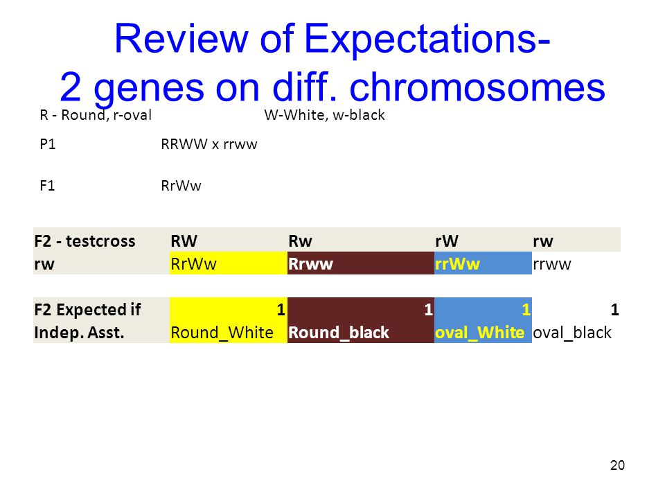 Review of Expectations- 2 genes on diff. chromosomes 20 R - Round, r-ovalW-White, w-black P1RRWW x rrww F1RrWw F2 - testcrossRWRwrWrw RrWwRrwwrrWwrrww