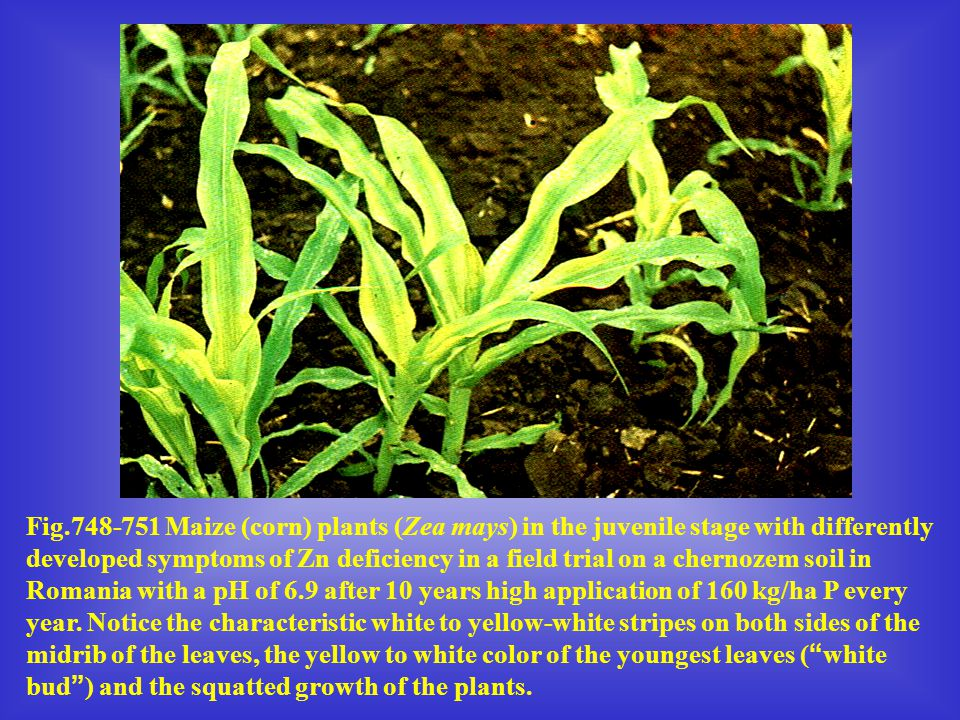 Fig.748-751 Maize (corn) plants (Zea mays) in the juvenile stage with differently developed symptoms of Zn deficiency in a field trial on a chernozem