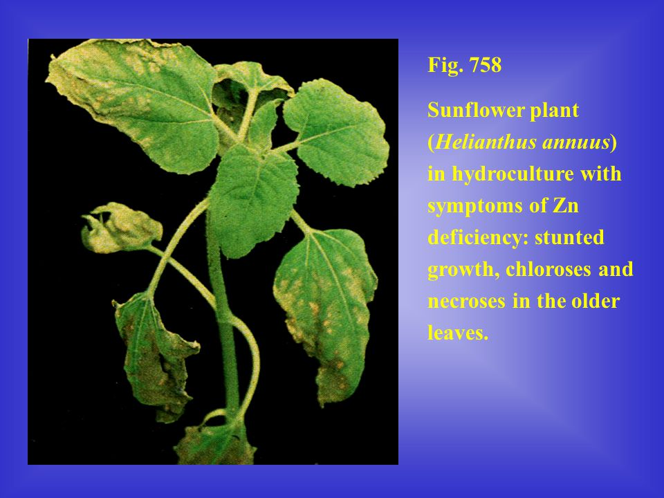 Fig. 758 Sunflower plant (Helianthus annuus) in hydroculture with symptoms of Zn deficiency: stunted growth, chloroses and necroses in the older leave