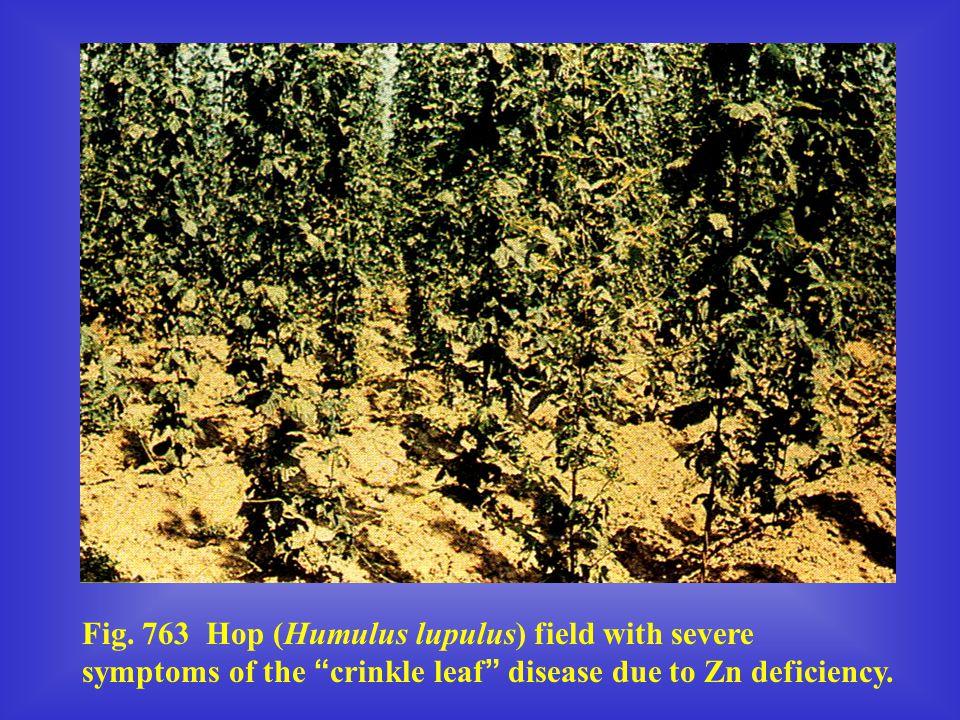 "Fig. 763 Hop (Humulus lupulus) field with severe symptoms of the "" crinkle leaf "" disease due to Zn deficiency."