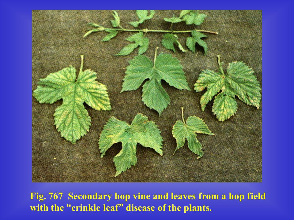 """Fig. 767 Secondary hop vine and leaves from a hop field with the """" crinkle leaf """" disease of the plants."""