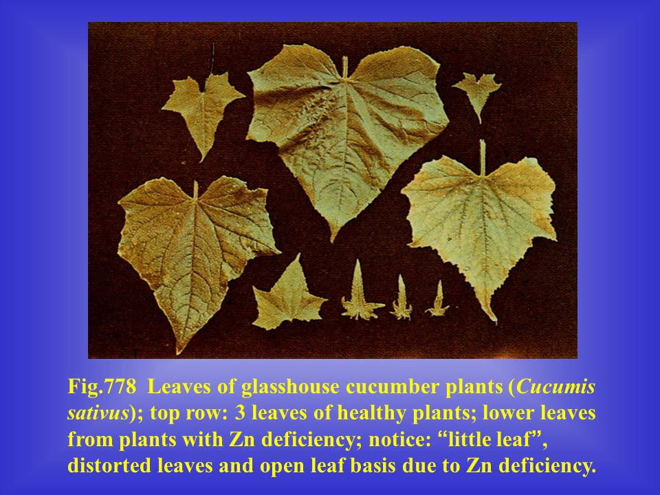 Fig.778 Leaves of glasshouse cucumber plants (Cucumis sativus); top row: 3 leaves of healthy plants; lower leaves from plants with Zn deficiency; noti