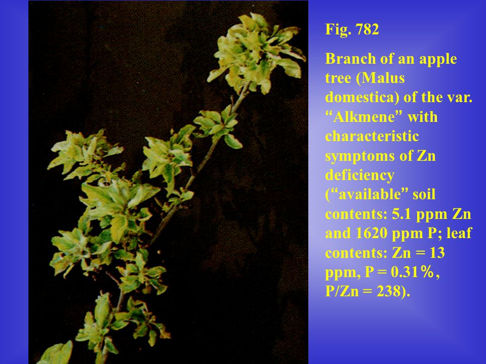 """Fig. 782 Branch of an apple tree (Malus domestica) of the var. """" Alkmene """" with characteristic symptoms of Zn deficiency ( """" available """" soil contents"""