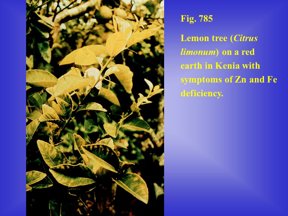 Fig. 785 Lemon tree (Citrus limonum) on a red earth in Kenia with symptoms of Zn and Fe deficiency.