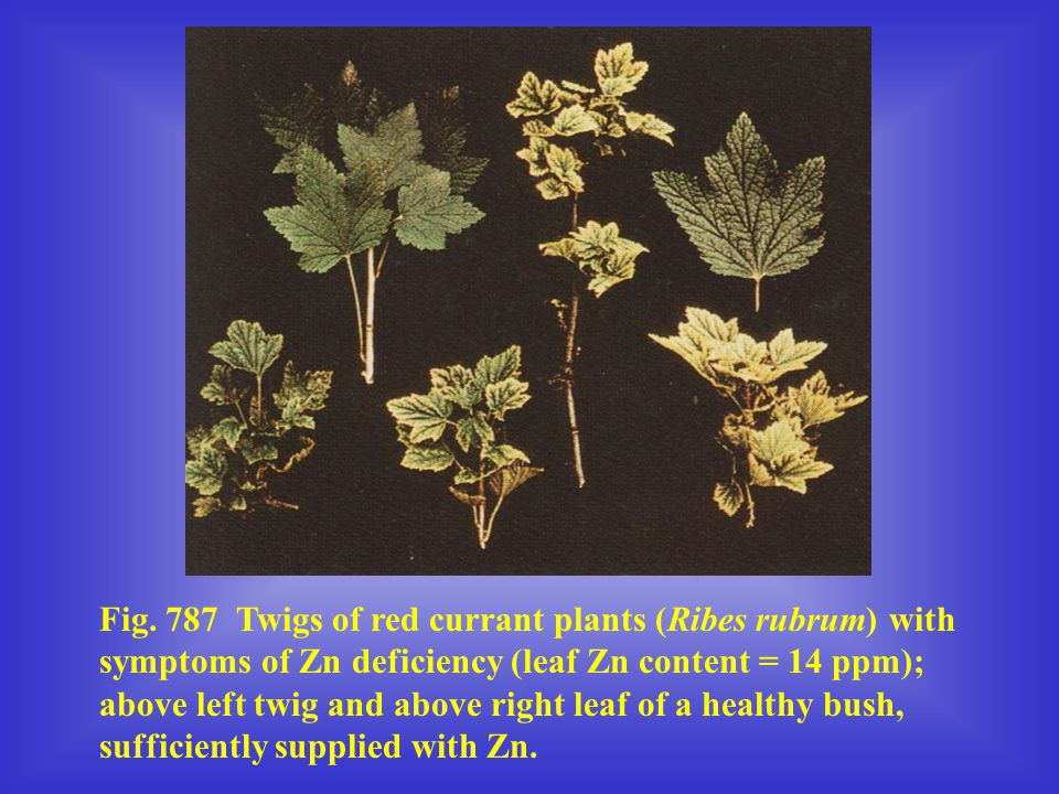 Fig. 787 Twigs of red currant plants (Ribes rubrum) with symptoms of Zn deficiency (leaf Zn content = 14 ppm); above left twig and above right leaf of