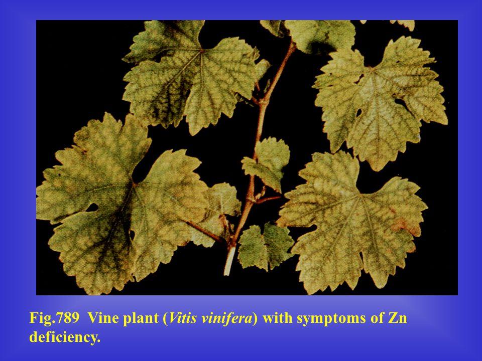 Fig.789 Vine plant (Vitis vinifera) with symptoms of Zn deficiency.