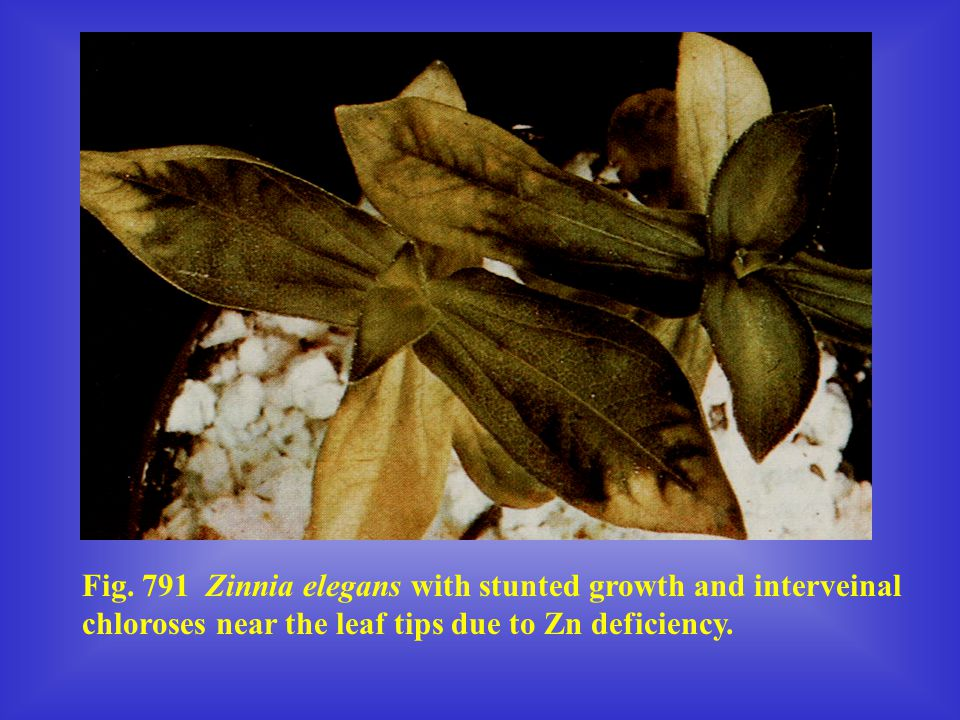 Fig. 791 Zinnia elegans with stunted growth and interveinal chloroses near the leaf tips due to Zn deficiency.