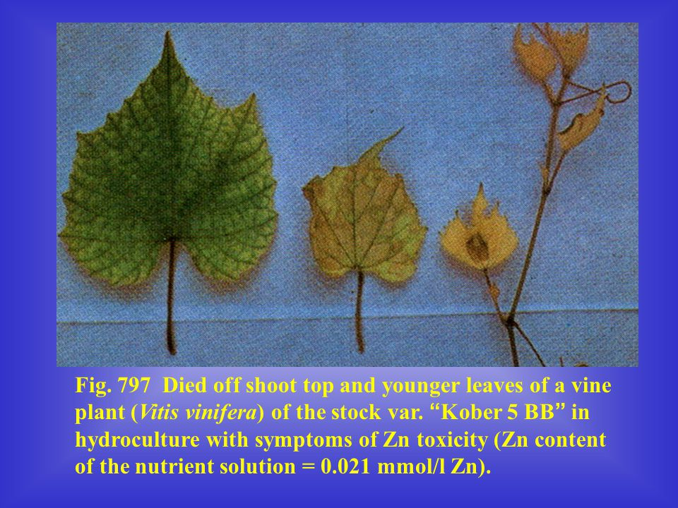 """Fig. 797 Died off shoot top and younger leaves of a vine plant (Vitis vinifera) of the stock var. """" Kober 5 BB """" in hydroculture with symptoms of Zn t"""