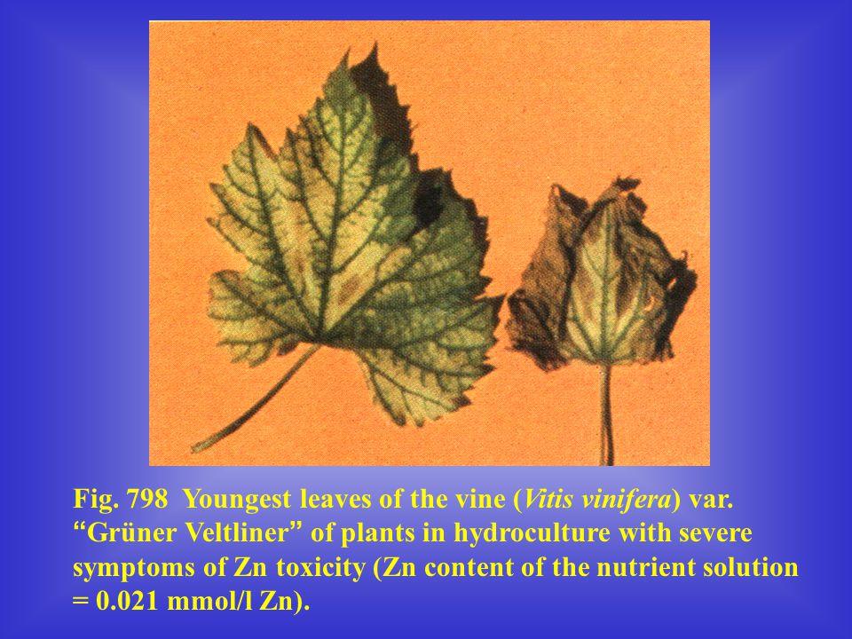 "Fig. 798 Youngest leaves of the vine (Vitis vinifera) var. "" Grüner Veltliner "" of plants in hydroculture with severe symptoms of Zn toxicity (Zn cont"