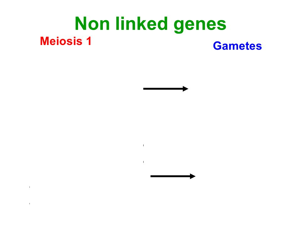 Linked genes 2 Meiosis 1 RY RY ry ry Gametes RY ry Large numbers of parental gametes Crossing over X X Ry rY Small numbers of recombinant gametes