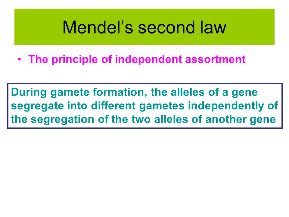 Mendel's second law The principle of independent assortment During gamete formation, the alleles of a gene segregate into different gametes independently of the segregation of the two alleles of another gene