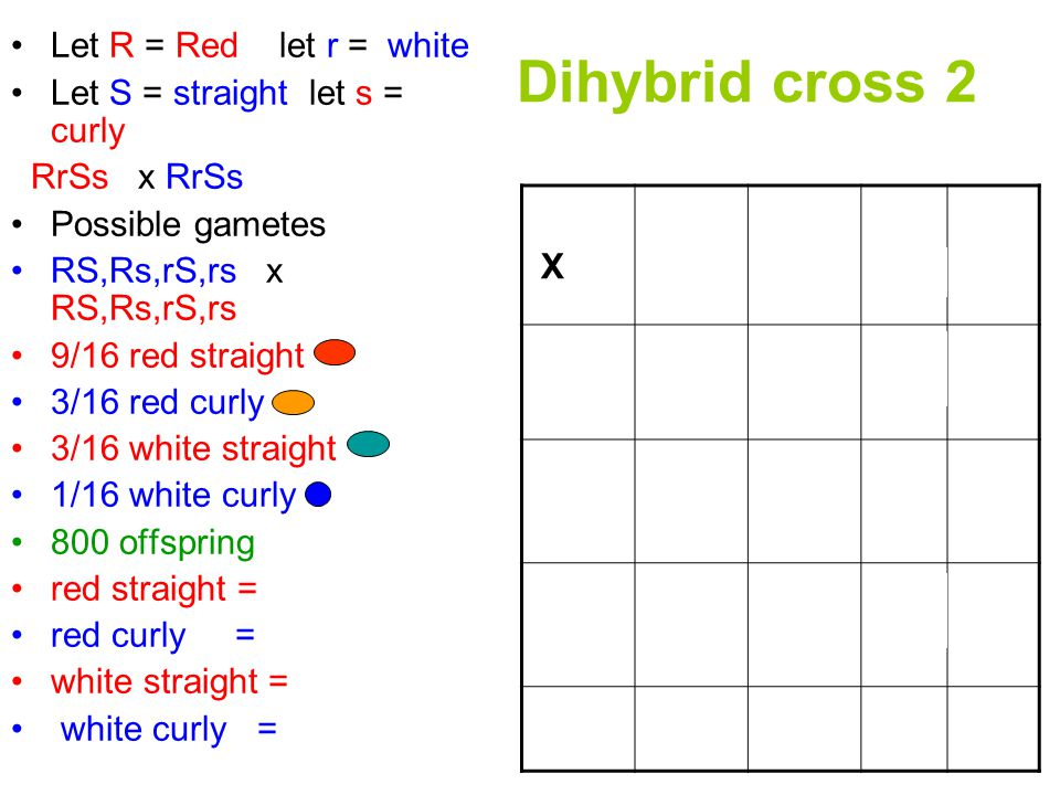 Dihybrid cross 2 Let R = Red let r = white Let S = straight let s = curly RrSs x RrSs Possible gametes RS,Rs,rS,rs x RS,Rs,rS,rs 9/16 red straight 3/16 red curly 3/16 white straight 1/16 white curly 800 offspring red straight = 450 red curly = 150 white straight = 150 white curly = 50 X RSRsrS rs RS Rs rS rs RRSS RRSs RrSS RrSsrrss RRSsRrSS RrSs RRss RrSsRrss RrSsrrSS rrSs RrssrrSs