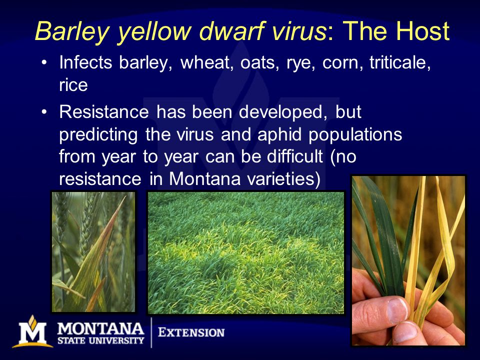 Barley yellow dwarf virus: The Host Infects barley, wheat, oats, rye, corn, triticale, rice Resistance has been developed, but predicting the virus an