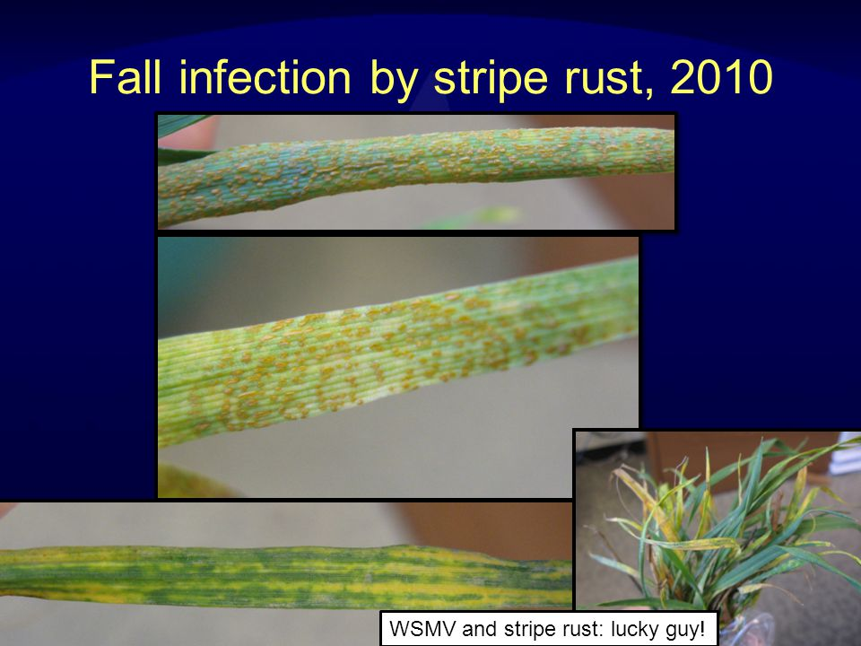 Stripe Rust: variety resistance is very effective at reducing yield losses Yellowstone Promontory Johnston & Grey, 2006 Susceptible varietyResistant variety