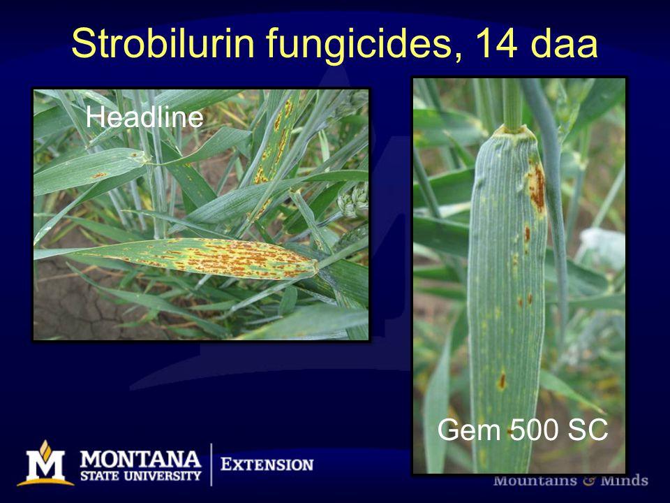 Strobilurin fungicides, 14 daa Headline Gem 500 SC