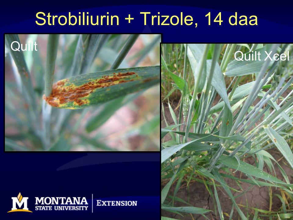 Strobiliurin + Trizole, 14 daa Quilt Quilt Xcel