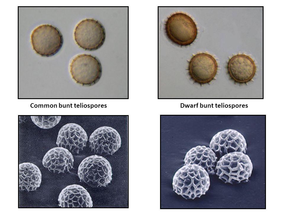 Common bunt teliospores Dwarf bunt teliospores