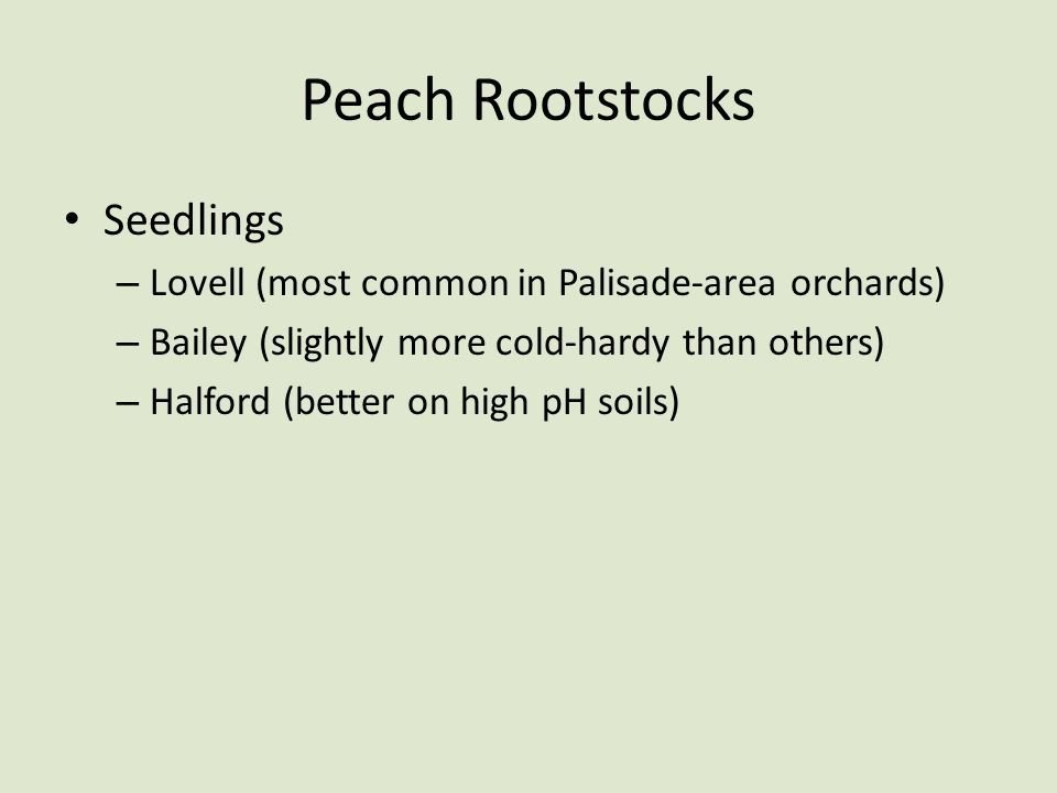 Peach Rootstocks Seedlings – Lovell (most common in Palisade-area orchards) – Bailey (slightly more cold-hardy than others) – Halford (better on high