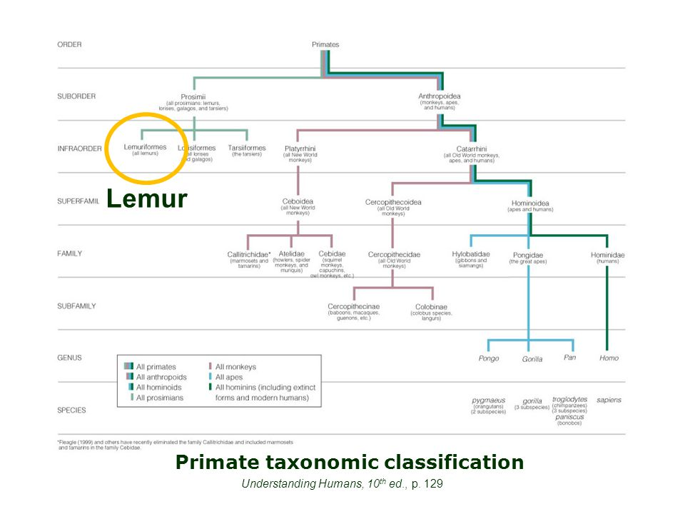 Primate taxonomic classification Understanding Humans, 10 th ed., p. 129 Lemur