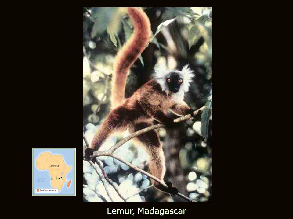 Lemur, Madagascar p. 131