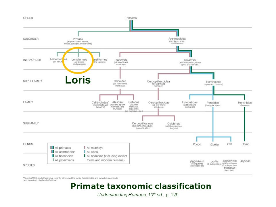 Primate taxonomic classification Understanding Humans, 10 th ed., p. 129 Loris