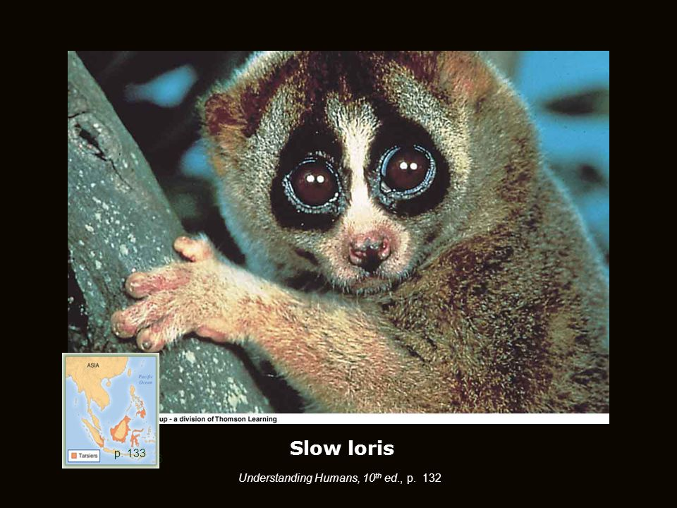Slow loris p. 126 Understanding Humans, 10 th ed., p. 132 p. 133