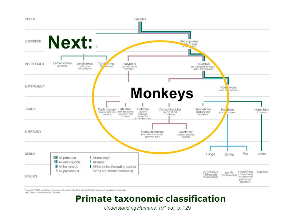 Primate taxonomic classification Understanding Humans, 10 th ed., p. 129 Next: Monkeys