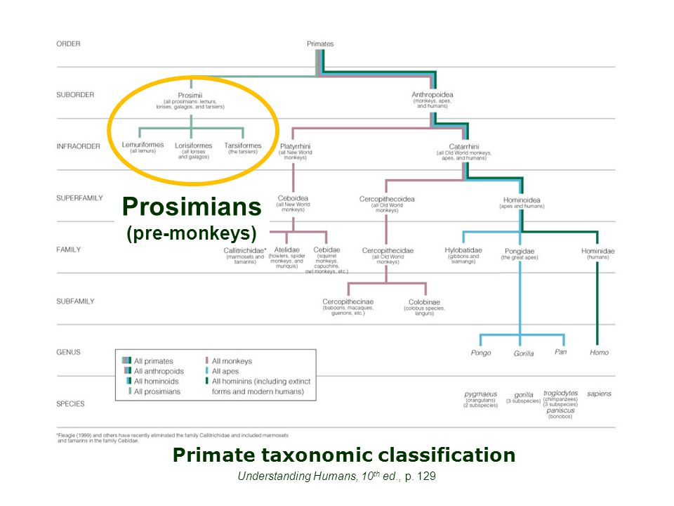 Primate taxonomic classification Understanding Humans, 10 th ed., p. 129 Prosimians (pre-monkeys)