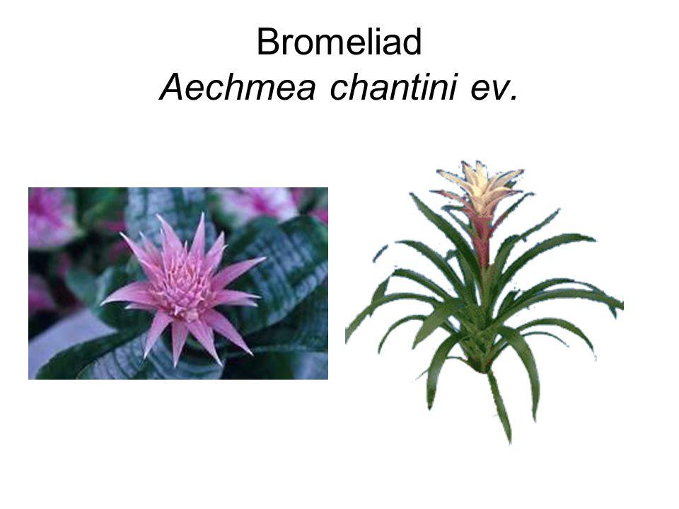 Bromeliad Aechmea chantini ev.