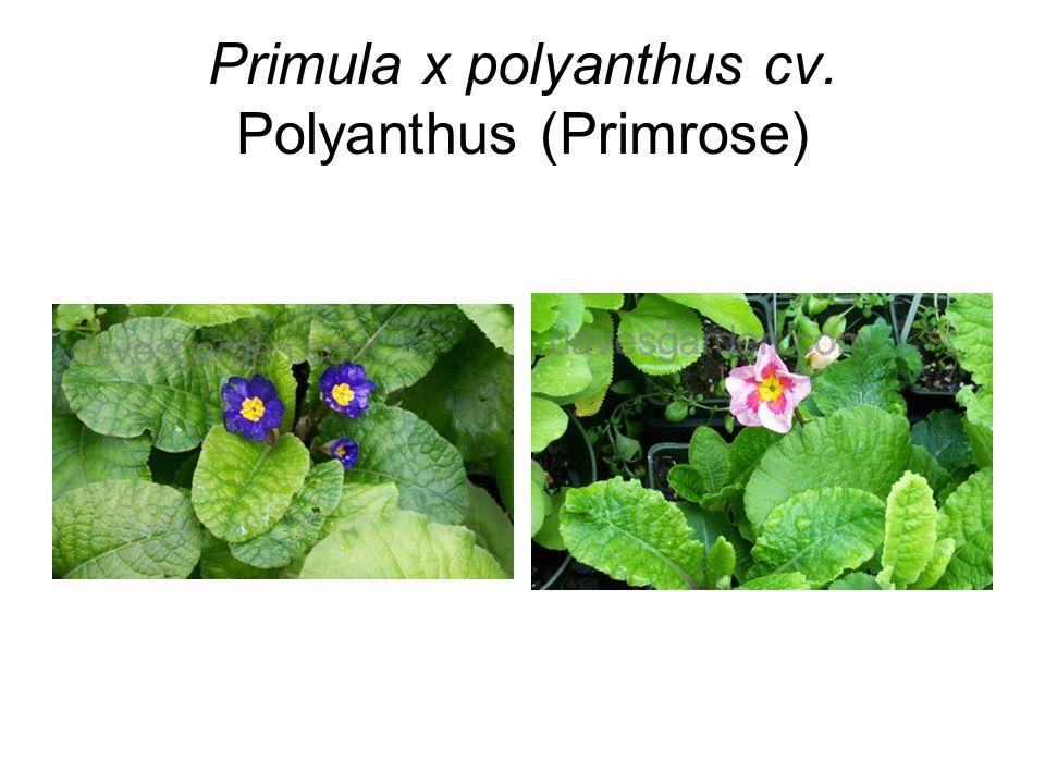Primula x polyanthus cv. Polyanthus (Primrose)