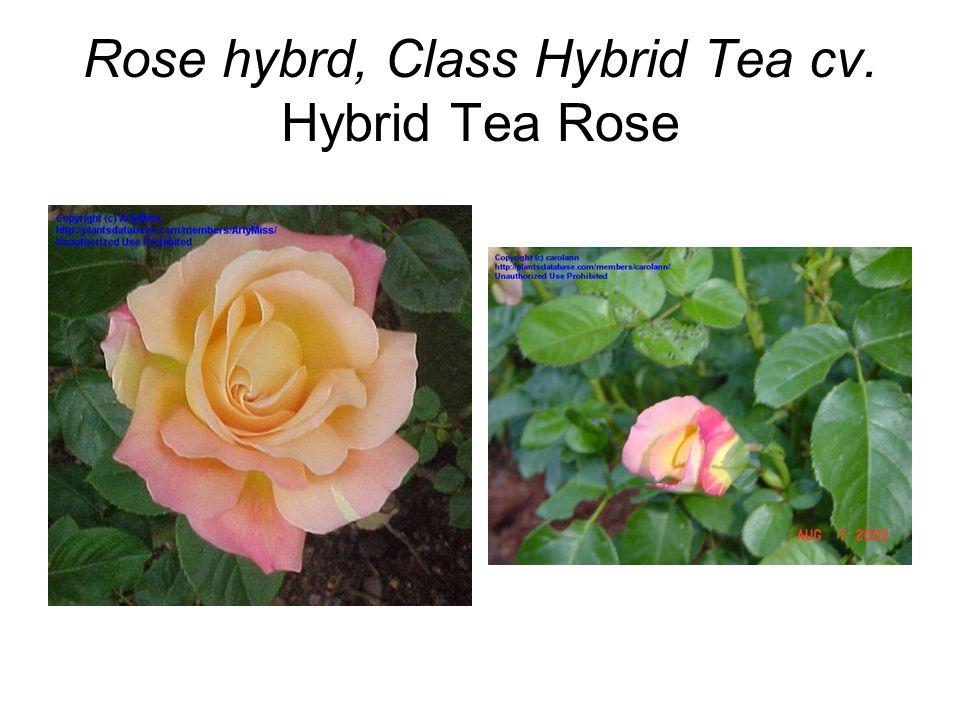 Rose hybrd, Class Hybrid Tea cv. Hybrid Tea Rose