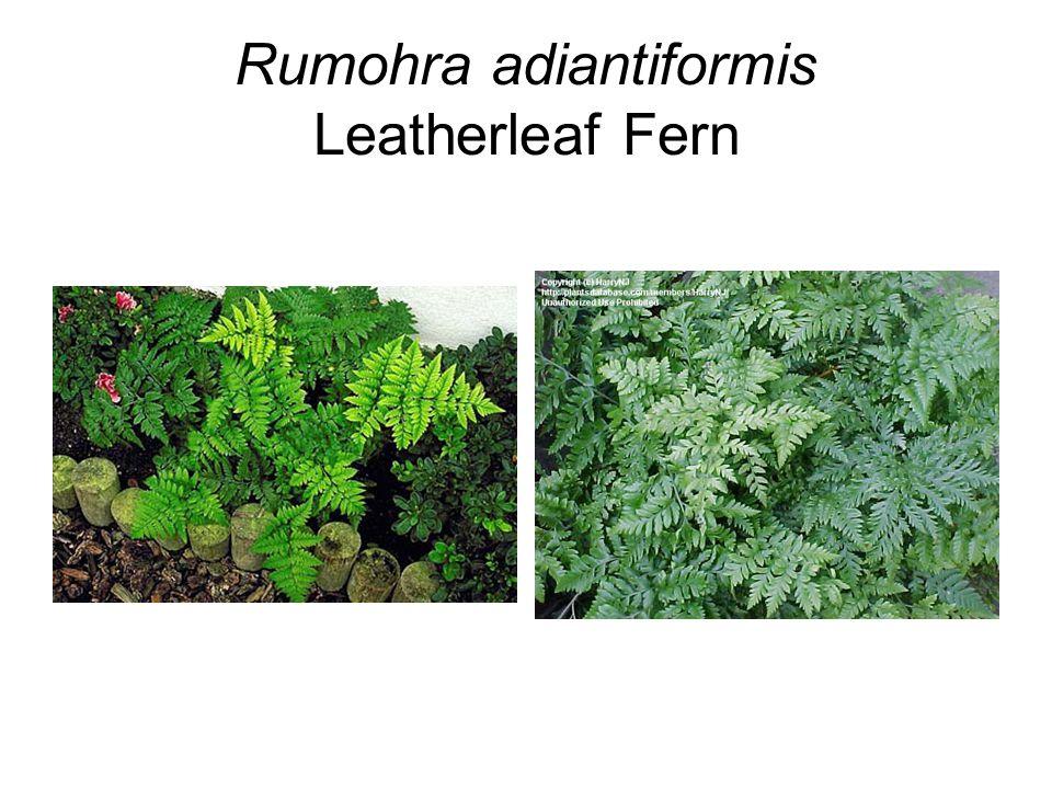 Rumohra adiantiformis Leatherleaf Fern