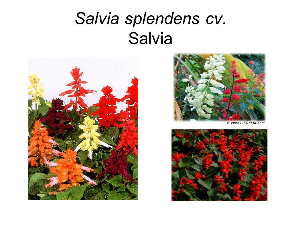 Salvia splendens cv. Salvia
