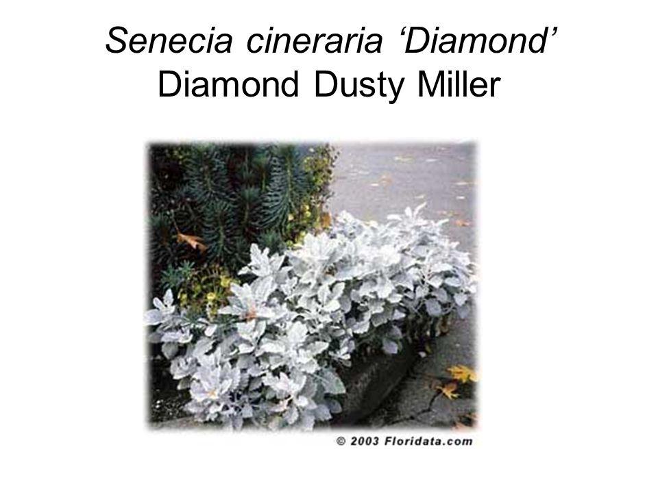 Senecia cineraria 'Diamond' Diamond Dusty Miller