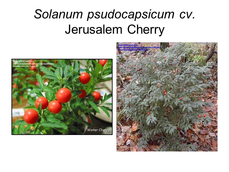 Solanum psudocapsicum cv. Jerusalem Cherry