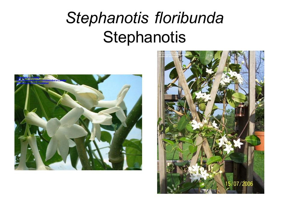 Stephanotis floribunda Stephanotis