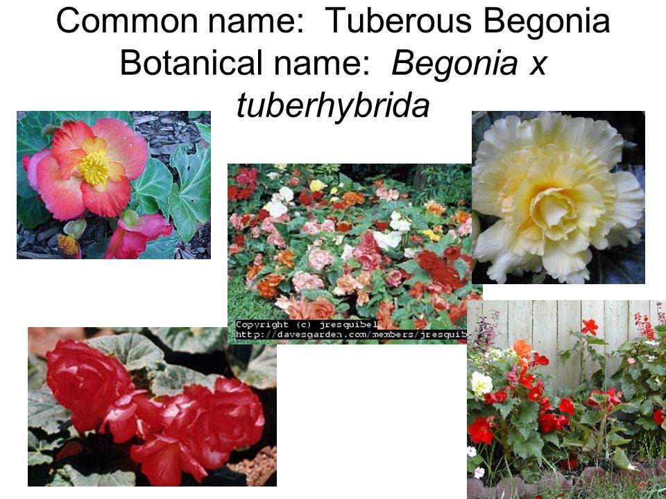 Common name: Tuberous Begonia Botanical name: Begonia x tuberhybrida
