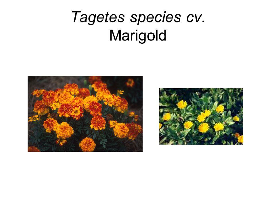 Tagetes species cv. Marigold
