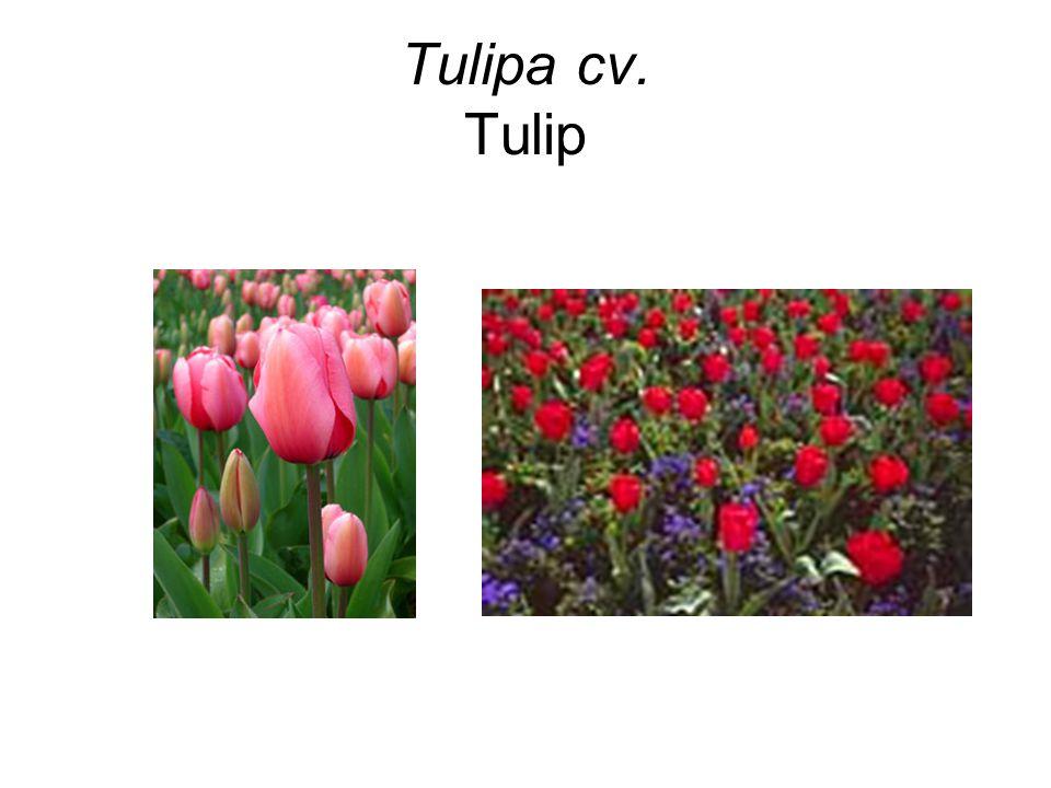 Tulipa cv. Tulip