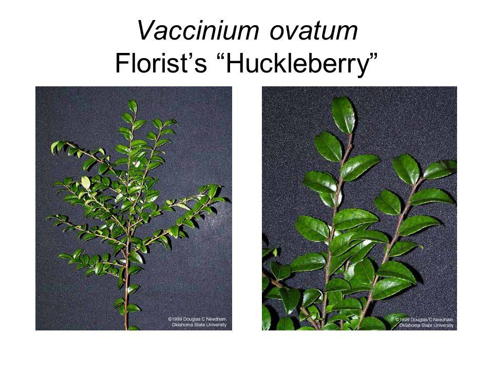 "Vaccinium ovatum Florist's ""Huckleberry"""