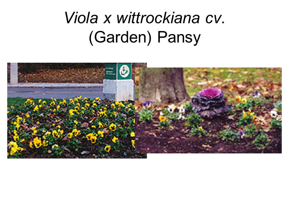 Viola x wittrockiana cv. (Garden) Pansy