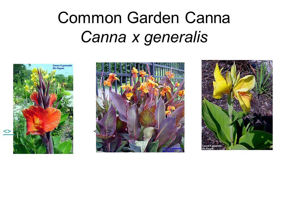 Common Garden Canna Canna x generalis <>