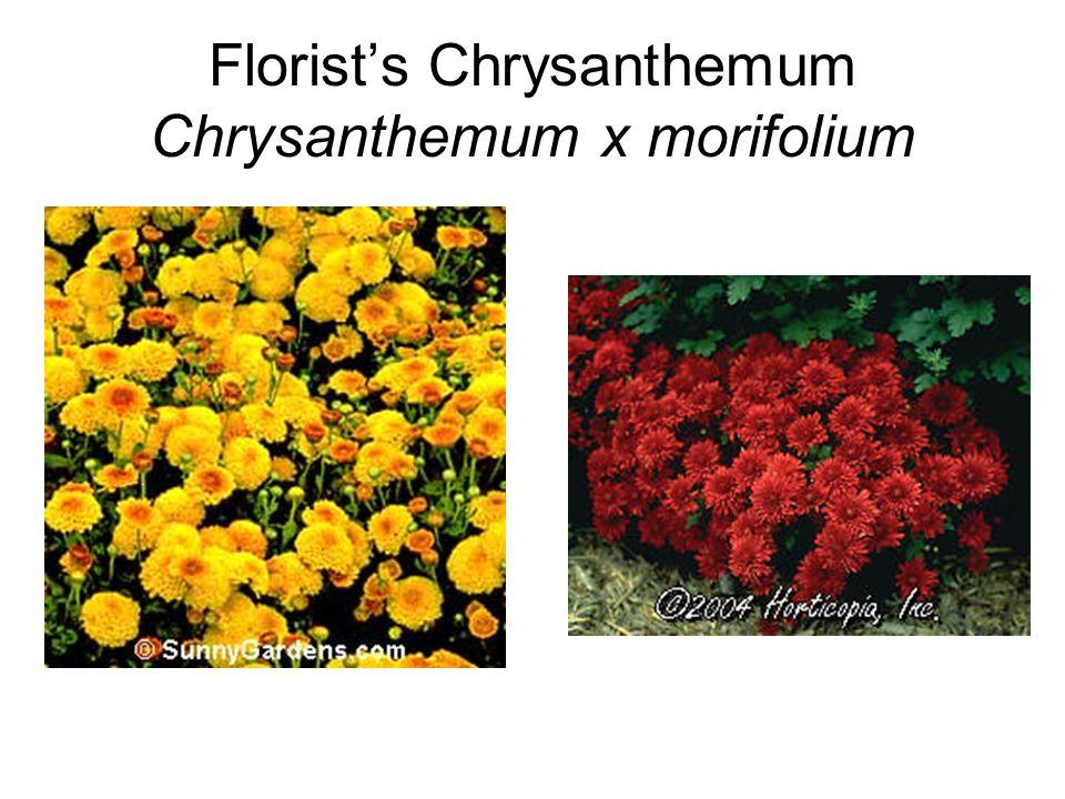 Florist's Chrysanthemum Chrysanthemum x morifolium