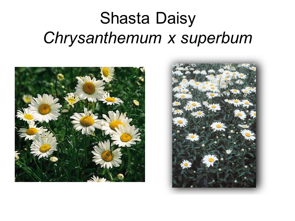 Shasta Daisy Chrysanthemum x superbum