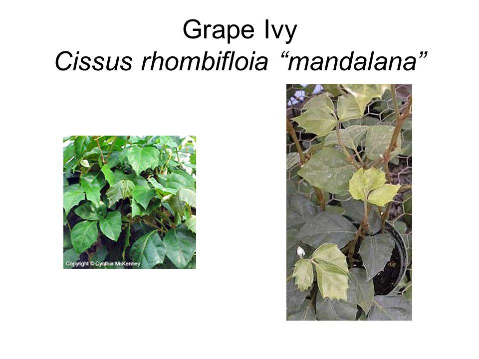 "Grape Ivy Cissus rhombifloia ""mandalana"""