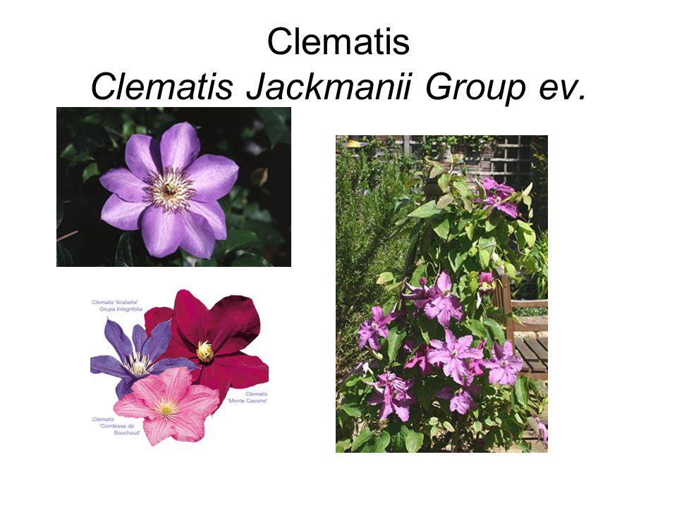 Clematis Clematis Jackmanii Group ev.