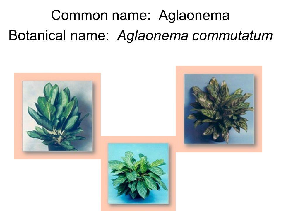 Common name: Aglaonema Botanical name: Aglaonema commutatum