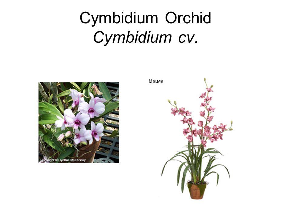 Cymbidium Orchid Cymbidium cv.