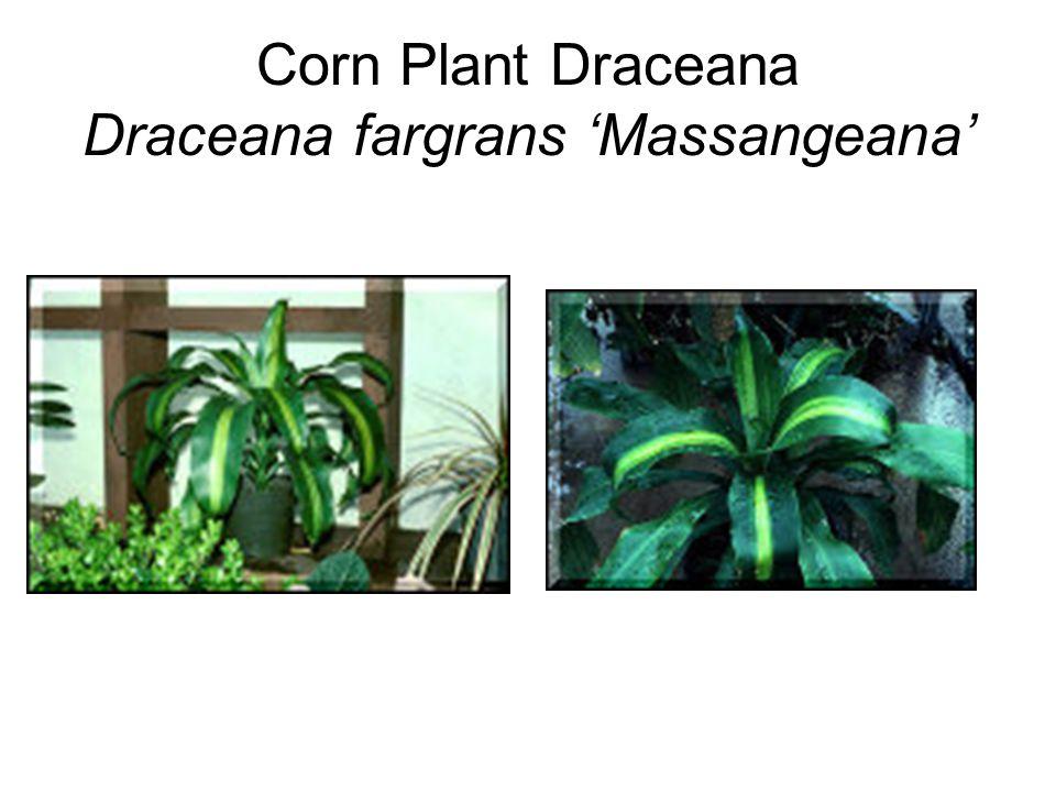 Corn Plant Draceana Draceana fargrans 'Massangeana'
