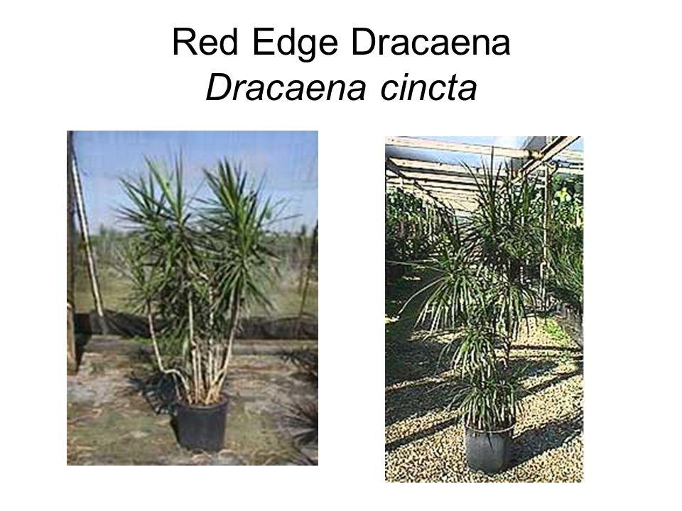 Red Edge Dracaena Dracaena cincta